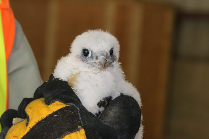 Canadian Peregrine Foundation