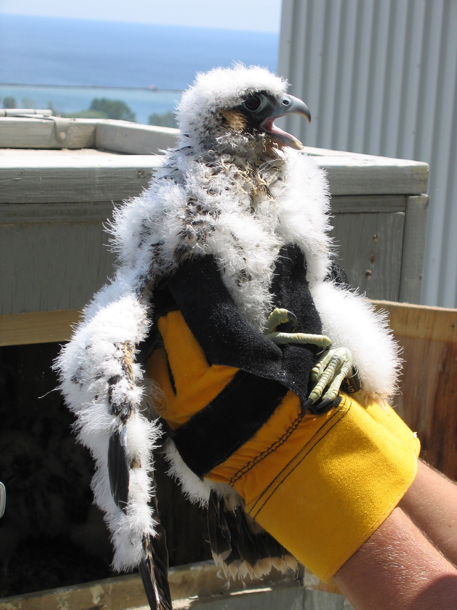 Canadian Peregrine Foundation holding falcons